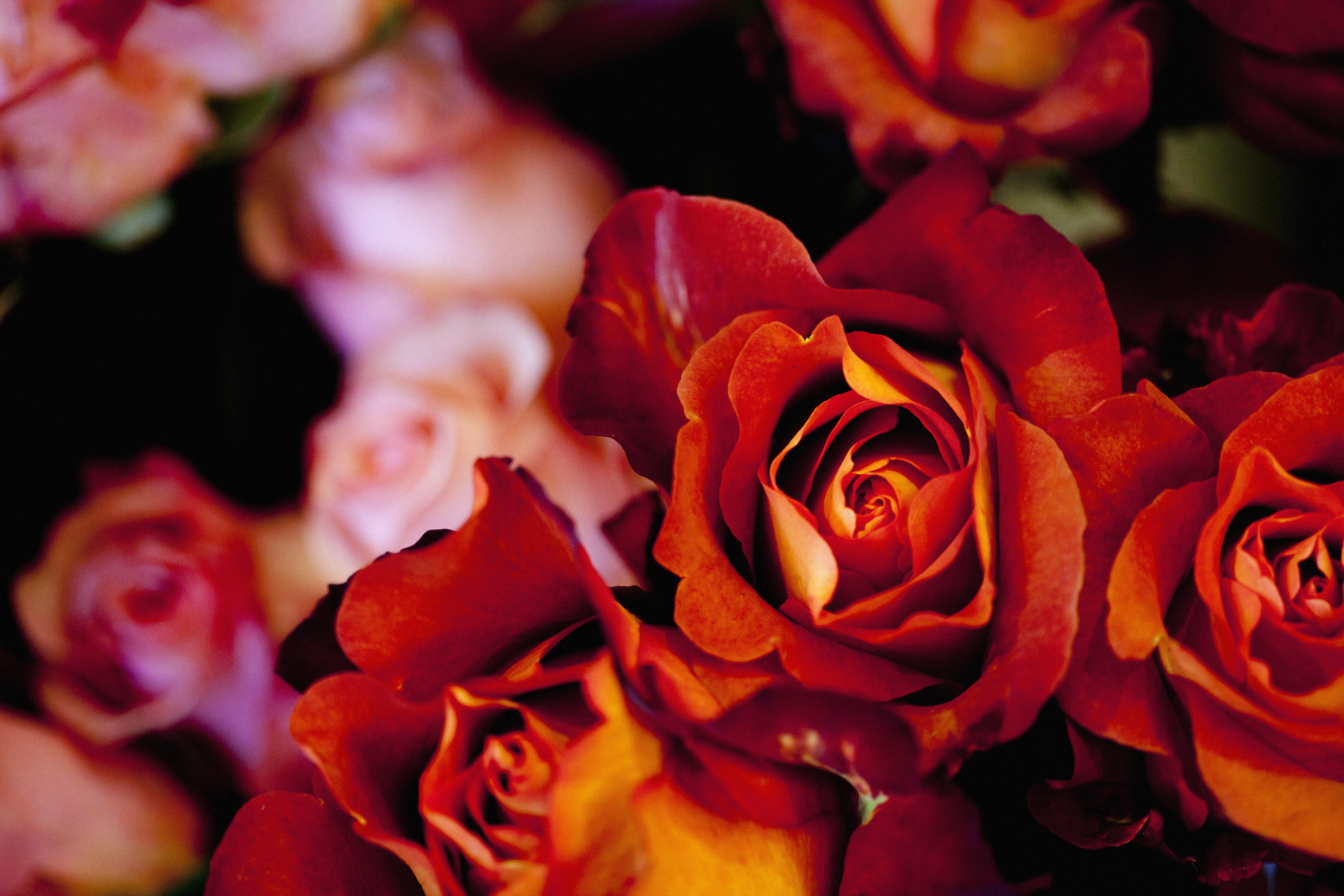 roses ClaireLloyd